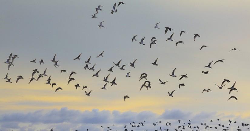 jalur-migrasi-burung-di-dunia-jambi-riau-dan-jogja_110917_1140